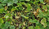 Семена огурца Пучини F1 (50г) партенокарпик средне-ранний, фото 1