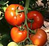 Семена томата Берберана F1(500c) высокорослый ранний