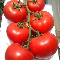 Семена томата Махитос F1(100c) высокорослый красный