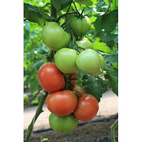 Семена томата Ралли F1(1000c) высокорослый ранний, фото 1