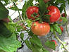 Семена томата Касамори F1 (1000c) высокорослый розовый ранний