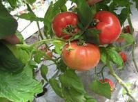 Семена томата Касамори F1 (100c) высокорослый розовый ранний