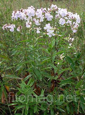Мыльнянка трава, 50 г