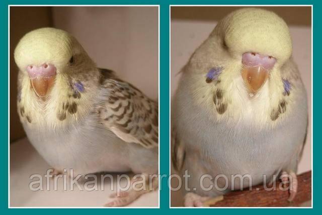 Как определить возраст волнистого попугая