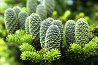 """Пихта Нордмана или Кавказская """"датская елка"""" (семена 10 штук), фото 1"""