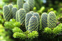 """Пихта Нордмана или Кавказская """"датская елка"""" (семена 100 штук), фото 1"""