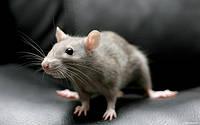 Борьба с крысами. Дератизация