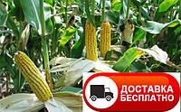 Семена кукурузы Полтава ФАО 270