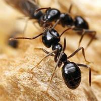 Обработка помещений от муравьев