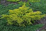 Можжевельник средний, Juniperus media 'Gold Star', 40 см., фото 5