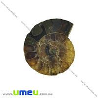 Аммонит окаменелый, 24х21х5 мм, 1 шт (POD-031610)