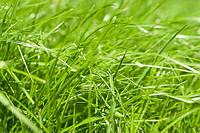 Один из проверенных способов избавления от сорняков при выращивании газонной  травы.