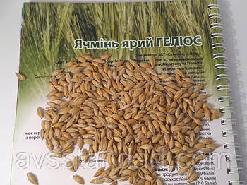 Яровой ячмень Гелиос для Степи Лесостепи. Среднеранний ячмень Гелиос высокоурожайный 55-60 ц/га. Элита