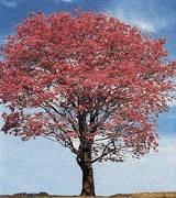 Pau d`Arco Кора Муравьиного дерева. Мифы и правда. ЧАСТЬ1