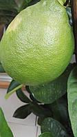 """Саженцы лимона """"Лисбон"""""""