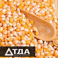 Что нужно учитывать при выборе гибрида кукурузы?