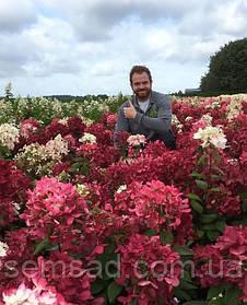 Гортензия метельчатая Диамант Руж \ Hydrangea paniculata Diamant Rouge ( саженцы 3 года)