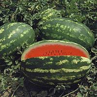 Семена арбуза Думара F1 Nunhems 1 000 шт (Проф упаковка 100 шт)