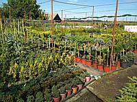 Привитые растения сосна,можжевельник,туя,ель.