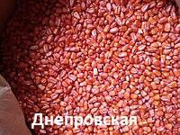 Семена протравленная Кукуруза Белозерский 295 СВ Гибрид 500г