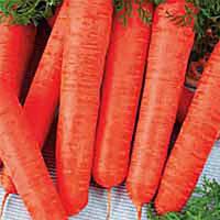 Семена моркови Лонг роте Штумпфе Satimex от 100 г