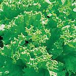 Семена салата Лолло Бионда Hortus 500 г (банка)