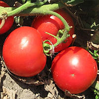 Семена томата детерминантного Волна F1 Hazera 1 000 шт (Проф упаковка 1 000 шт)
