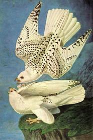 Птицы Америки («Birds of America»)- самая дорогая книга в мире!