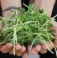 ПОДСОЛНУХ Микрозелень, семена зерна подсолнуха органические для проращивания 100 грамм, фото 1