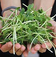 ПОДСОЛНУХ, семена зерна подсолнуха органические для проращивания 100 грамм