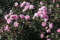 Бело-розовая почвопокровная роза., фото 3