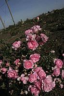 Бело-розовая почвопокровная роза., фото 4
