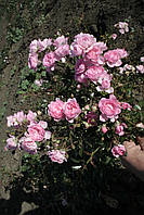 Бело-розовая почвопокровная роза., фото 5