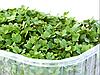 ГОРЧИЦА Микрозелень, семена зерна горчицы органические для проращивания 80 грамм