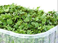 ГІРЧИЦЯ Мікрозелень, насіння зерна гірчиці органічні для пророщування 80 грам, фото 1