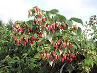 "Малиновое дерево ""Таруса"""