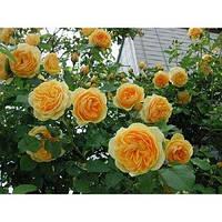 Роза английская Грэхэм Томас (шраб)