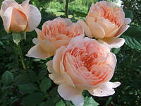 Роза английская Ти Клипер (шраб)