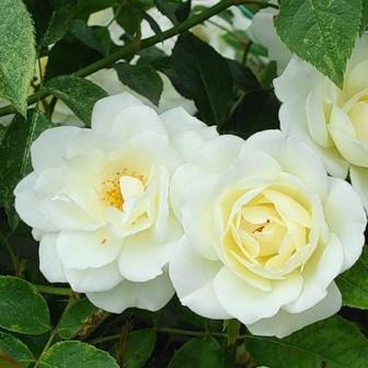 Роза в'юнка Білянка