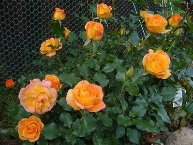 """Роза """"Сахара"""" (шраб)"""