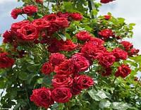 Роза плетистая Симпати