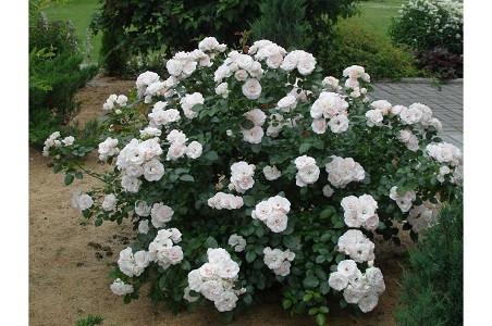 Роза флорибунда Аспирин