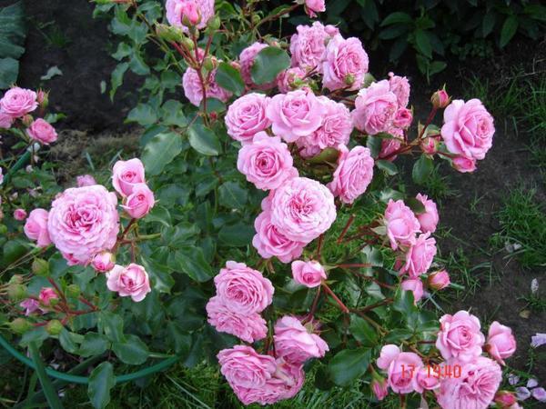 Роза Роял Боника (шраб)