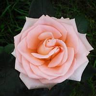 """Роза чайно-гибридная """"Ангажимент"""""""