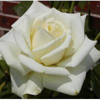 """Роза чайно-гибридная """"Полар Стар""""\""""Polar Star"""""""