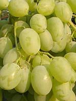 Виноград Восторг идеальный открытая корневая система