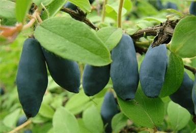 Жимолость їстівна Блакитне веретено