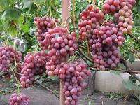 Виноград Рубиновый юбилей ОКС