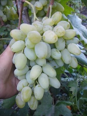 Виноград Миллениум ОКС