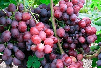Виноград Червона Зоря